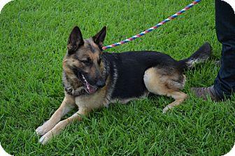 German Shepherd Dog Dog for adoption in Houston, Texas - Heinrich