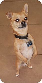 Chihuahua Mix Dog for adoption in Valencia, California - Chingon