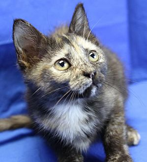 Domestic Shorthair Kitten for adoption in Winston-Salem, North Carolina - Addie