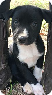 Great Dane/Great Pyrenees Mix Puppy for adoption in Sylacauga, Alabama - Penelope