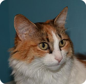 Domestic Longhair Cat for adoption in Cincinnati, Ohio - Princess Elise