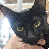 Domestic Shorthair Cat for adoption in Redwood City, California - Tess