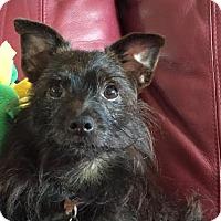 Adopt A Pet :: Scottie (and Sophia!) - St Petersburg, FL