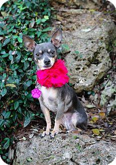 Chihuahua Mix Dog for adoption in Clifton, Texas - Bonnie Blue