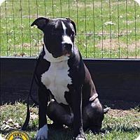 Adopt A Pet :: Biggie Smalls - Nicholasville, KY