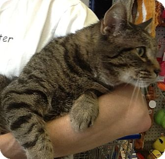 Domestic Shorthair Cat for adoption in Bear, Delaware - Francis