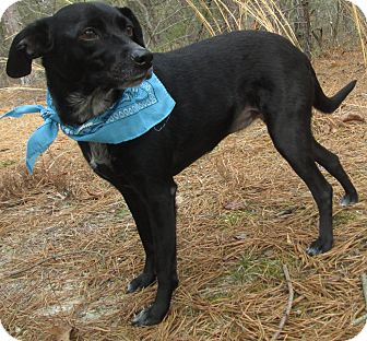 Labrador Retriever/Terrier (Unknown Type, Small) Mix Dog for adoption in Forked River, New Jersey - Pepper