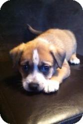 Harrier/Feist Mix Puppy for adoption in Lancaster, Pennsylvania - Grace Vrabel