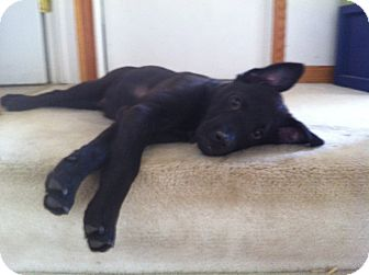 Shepherd (Unknown Type)/Labrador Retriever Mix Dog for adoption in batlett, Illinois - Butch