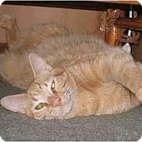 Adopt A Pet :: HunnyBunch  - LUVbug - Cincinnati, OH