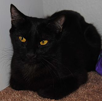 Domestic Shorthair Cat for adoption in Gilbert, Arizona - Boo