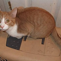 Domestic Shorthair Cat for adoption in Livonia, Michigan - Mango