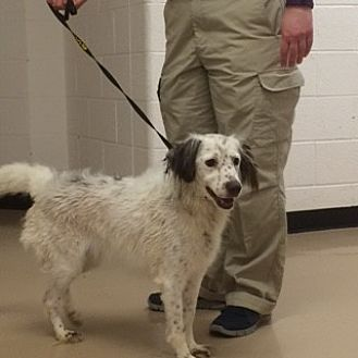 English Setter/Brittany Mix Dog for adoption in Walton, Kentucky - TN/Snowy