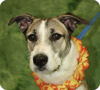 Collie Mix Dog for adoption in Jackson, Michigan - Manny