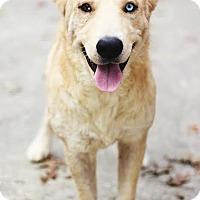Adopt A Pet :: Kodiak - Kingwood, TX