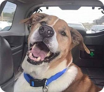 St. Bernard Mix Dog for adoption in Tampa, Florida - Onyx