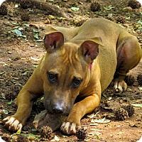 Adopt A Pet :: Petunia - Athens, GA