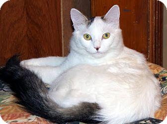Domestic Mediumhair Cat for adoption in Alexandria, Virginia - Plum