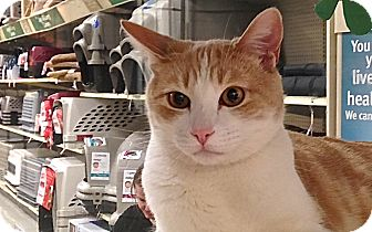 Domestic Shorthair Cat for adoption in Foothill Ranch, California - Tigger
