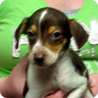 Beagle/Feist Mix Puppy for adoption in Greencastle, North Carolina - Colby