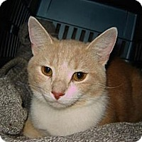 Domestic Shorthair Cat for adoption in Cleveland, Ohio - Smurfette