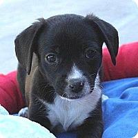 Adopt A Pet :: Bingo - La Habra Heights, CA