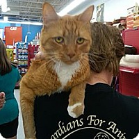 Adopt A Pet :: Garfield(front declaw) - Sterling Hgts, MI