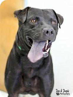 Labrador Retriever Mix Dog for adoption in Yukon, Oklahoma - Kanga