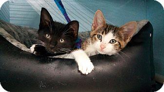 Domestic Shorthair Kitten for adoption in Warren, Michigan - Bo aka Oliver