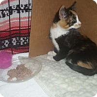 Adopt A Pet :: Luci  (Jade's kitten) - Medford, NJ