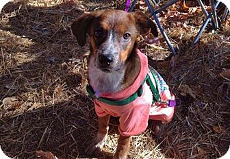 Blue Heeler/Terrier (Unknown Type, Medium) Mix Puppy for adoption in Huntsville, Tennessee - Shelby!!