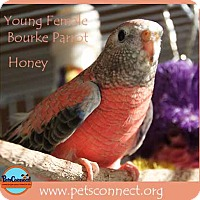 Adopt A Pet :: Honey - South Bend, IN