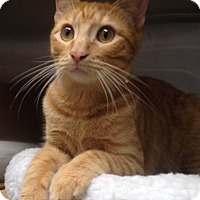 Domestic Shorthair Kitten for adoption in Houston, Texas - Speedy (fast and fun!)