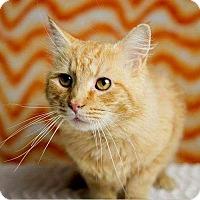 Adopt A Pet :: Marmalade - Herndon, VA