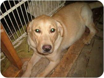 Labrador Retriever Puppy for adoption in North Jackson, Ohio - LI'l Dude
