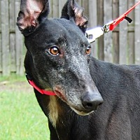 Greyhound Dog for adoption in Cherry Hill, New Jersey - Patrick