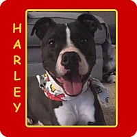 Adopt A Pet :: HARLEY - Dallas, NC
