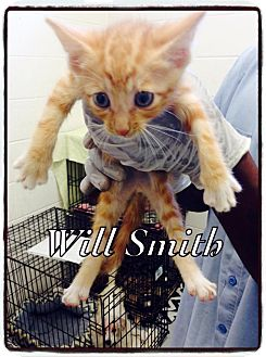 Domestic Shorthair Kitten for adoption in Dillon, South Carolina - Will Smith