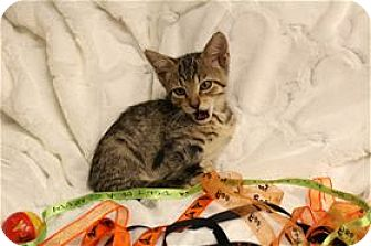 Domestic Shorthair Kitten for adoption in Lincoln, California - Carissa