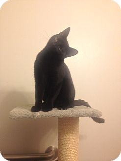 Domestic Shorthair Kitten for adoption in Dale City, Virginia - Storm