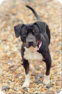 Staffordshire Bull Terrier/Basset Hound Mix Dog for adoption in Lebanon, Maine - Hoss