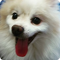 Pomeranian Mix Dog for adoption in Henderson, Nevada - Maddox