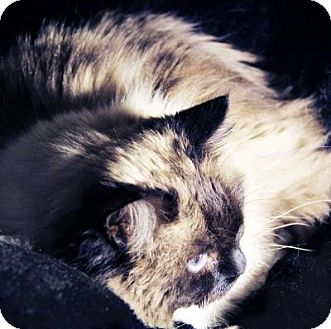 Ragdoll Cat for adoption in Roseville, Minnesota - Teddy
