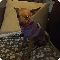 Adopt A Pet :: Yamura - Las Vegas, NV
