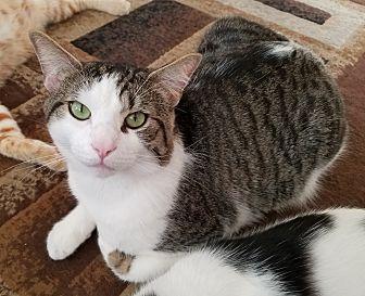 Domestic Shorthair Cat for adoption in Yorba Linda, California - Mr. Foo