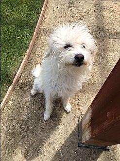 Cairn Terrier/Norfolk Terrier Mix Dog for adoption in Palm Desert, California - Dylan