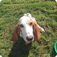 Adopt A Pet :: Rowdy - Grapevine, TX