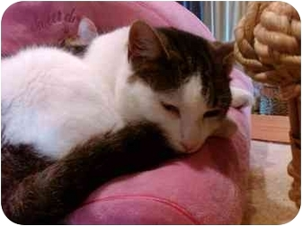 Domestic Shorthair Cat for adoption in Erie, Pennsylvania - Josephine