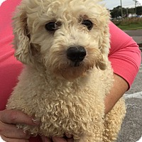 Adopt A Pet :: Puddin - St. Petersburg, FL