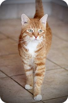 Domestic Shorthair Cat for adoption in San Antonio, Texas - Charlie